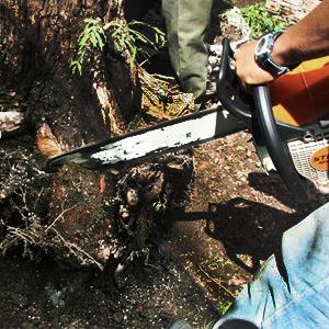 Изкореняване рязане на дървета