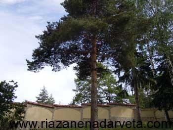 отрязване на дърво корояди