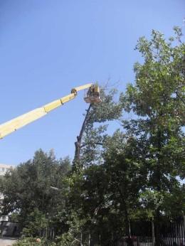 отрязване на опасни дървета тополи с вишка