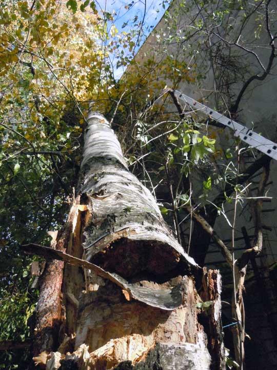 премахване на паднало дърво