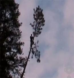 рязане на дървета на борове