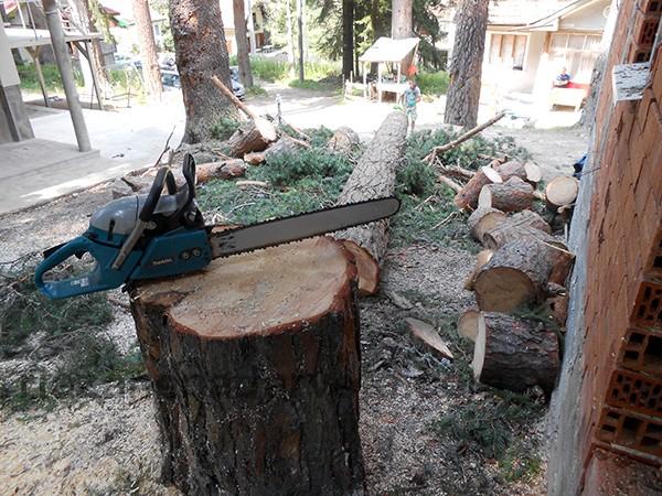 рязане на дървета - бор